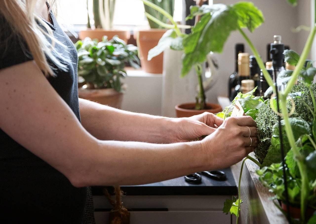 Frau beim Pflücken von frischen Kräutern aus Kräutergarten in SieMatic Küche.